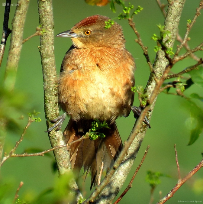 Freckle-brested Thornbird